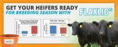 Heifers Ready with FlaxLic